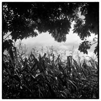 Chaps de maïs, Normandie. #Rolleipaul